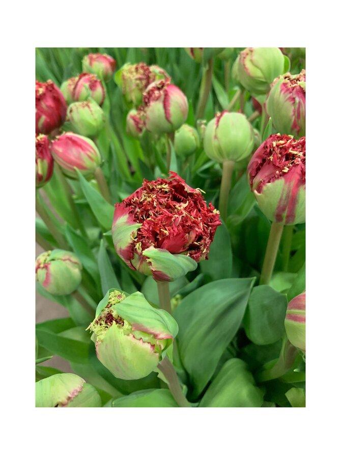 Viridiflora tulppaani -kukkasipulit