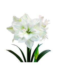 No Brand - White Nymph Amaryllis -kukkasipuli | Stockmann