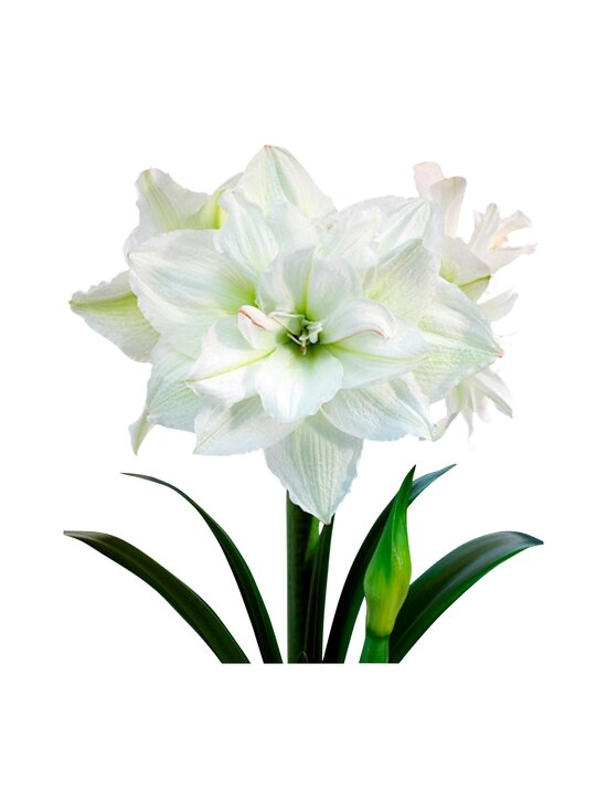 No Brand - White Nymph Amaryllis -kukkasipuli | Stockmann - photo 1