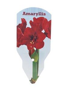 No Brand - Amaryllis 40/+ -kukkasipuli - RED | Stockmann