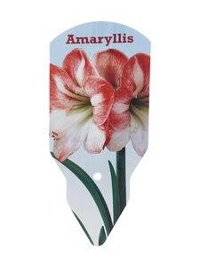 No Brand - Amaryllis 40/+ -kukkasipuli - PINK-WHITE | Stockmann