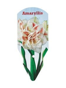 No Brand - Amaryllis Nymph Double 36/38 -kukkasipuli - DOUBLE | Stockmann